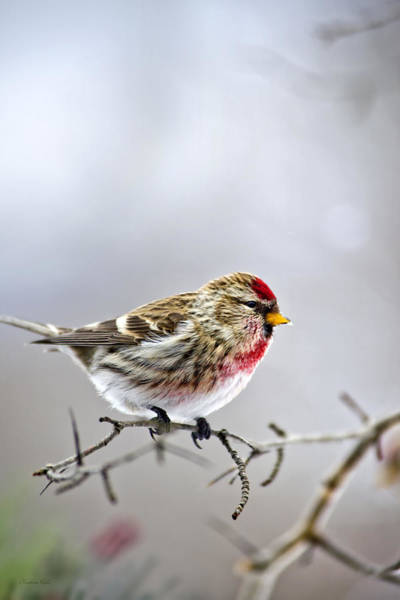 Photograph - Irruptive Bird Common Redpoll by Christina Rollo