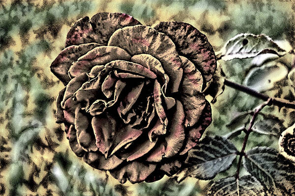 Photograph - Is Still A Rose 1 by David Yocum