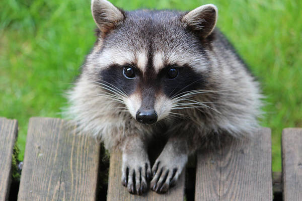 Raccoon Photograph - Is This The Way You Pray by Kym Backland