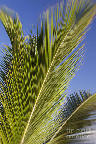 Photograph - Isabel Beach In Puerto Rico Palm Trees Against Blue Sky by Bryan Mullennix