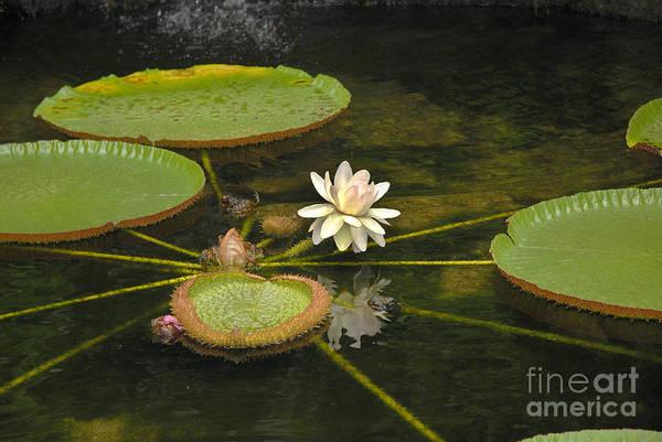 Photograph - Ischian Waterlily by Brenda Kean