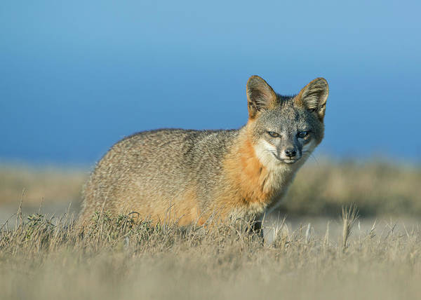 Channel Islands Photograph - Island Fox Urocyon Littoralis Endangered by Schafer & Hill