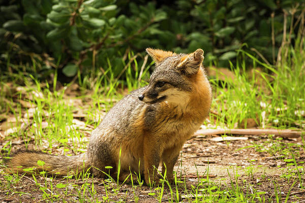 Santa Cruz Island Wall Art - Photograph - Island Fox (urocyon Littoralis by Russ Bishop