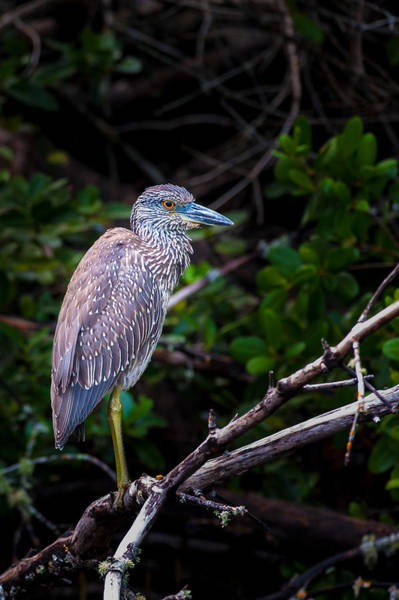 Photograph - Island Resident by Paul Johnson
