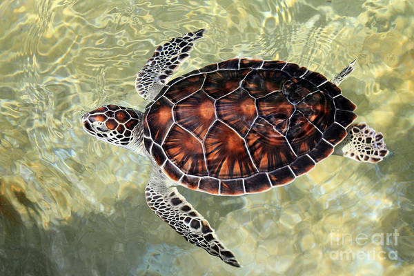 Hawksbill Turtle Photograph - Island Turtle by Carey Chen