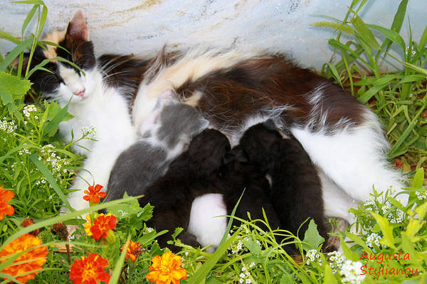 Photograph -  Cat With Kitten by Augusta Stylianou