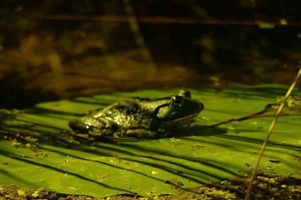 Living Things Photograph - It Is Good To Be A Frog by Jeff Swan