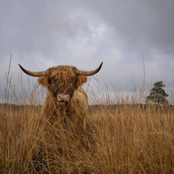 Cattle Wall Art - Photograph - It Wasn't Me by Gert Van Den