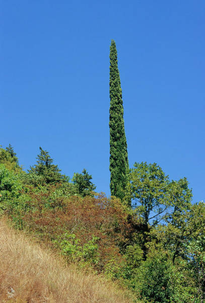 Wall Art - Photograph - Italian Cypress (cupressus Sempervirens) by Bruno Petriglia/science Photo Library