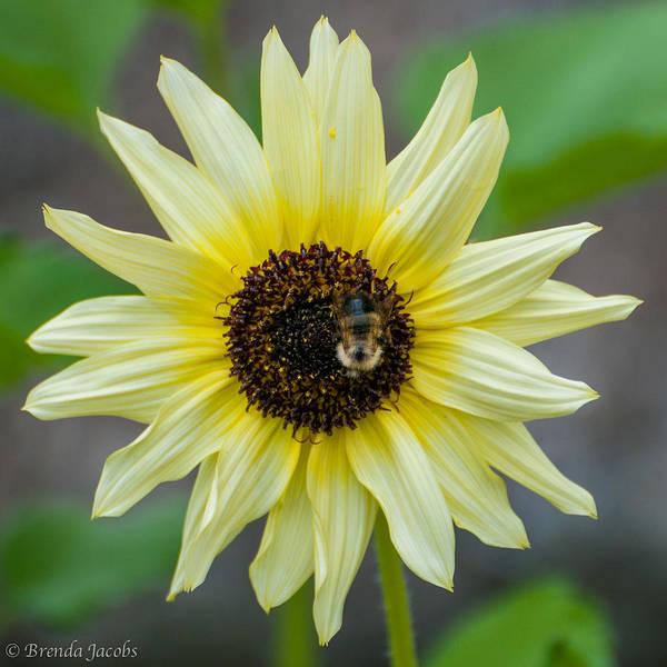 Photograph - Italian Sunflower by Brenda Jacobs