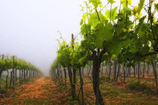 Photograph - Italian Vineyard by Bob Coates