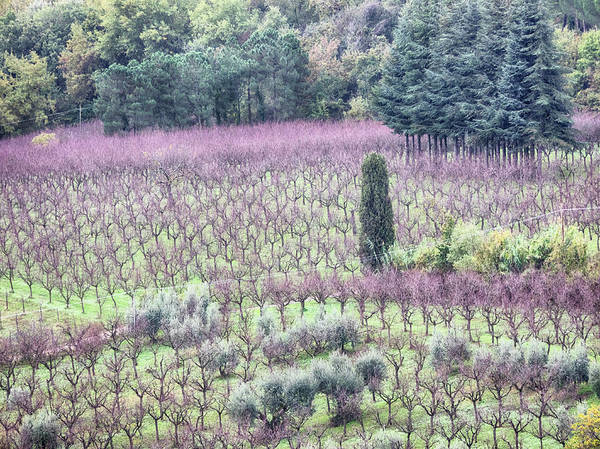 Wall Art - Photograph - Italy, Montepulciano, Almond Grove by Terry Eggers