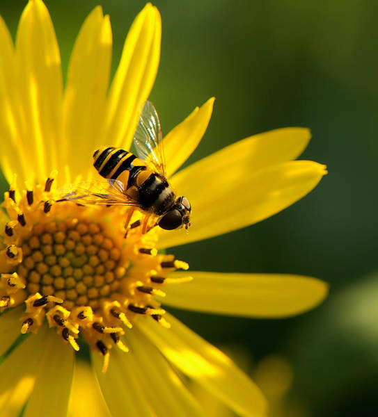 Macro Wall Art - Photograph - Its A Bees Life IIi by Kathi Isserman