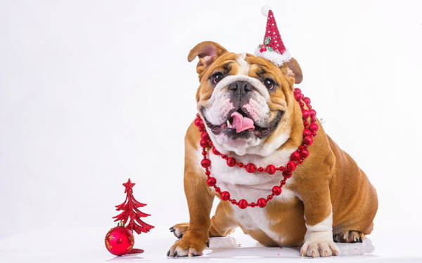 Photograph - It's A Dogs Christmas by Doc Braham