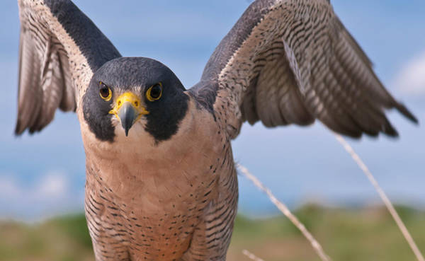 Peregrine Photograph - It's All In The Wings by Mike Berenson
