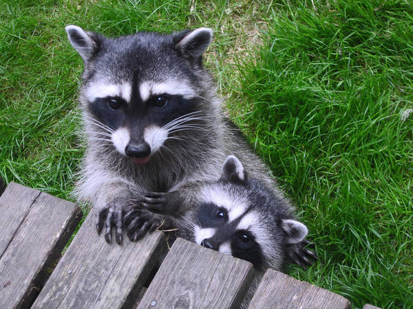 Raccoon Photograph - It's Nice To Meet You by Kym Backland