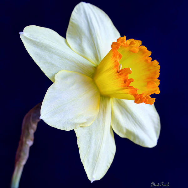 Dafodil Photograph - It's Spring - Square by Heidi Smith