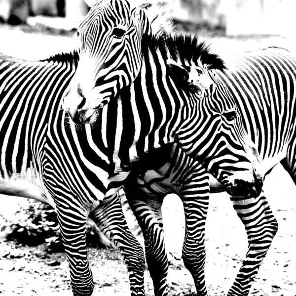Photograph - I've Got Stripes by Jeremiah John McBride