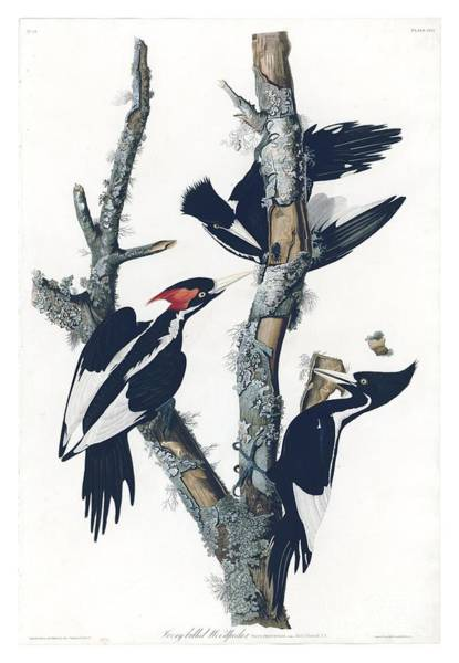 Drawing - Ivory-billed Woodpecker  by Celestial Images