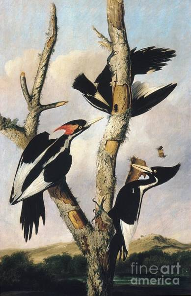 Drawing - Ivory-billed Woodpeckers by Celestial Images