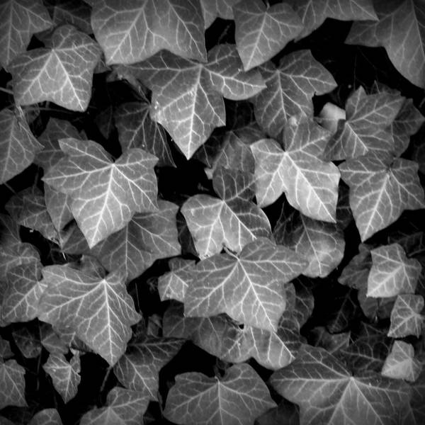 Harrisburg Pa Photograph - Ivy - Black And White by Joseph Skompski