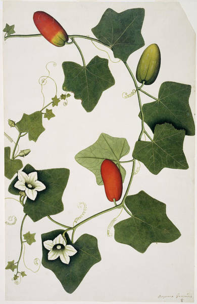 Cucurbitaceae Photograph - Ivy Gourd (bryonia Grandis) by Natural History Museum, London/science Photo Library