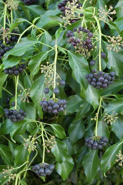 Anther Wall Art - Photograph - Ivy (hedera Helix) Berries by Dr Jeremy Burgess/science Photo Library