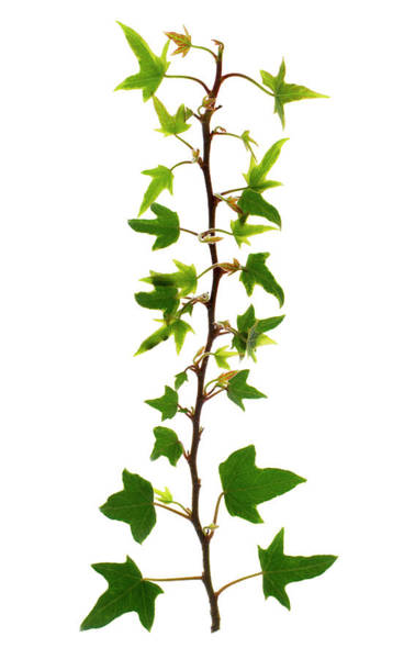 Climbing Plants Photograph - Ivy Leaves by Gustoimages/science Photo Library