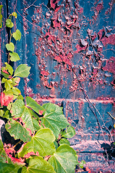 Photograph - Ivy Leaves With Rotten Door by Silvia Ganora