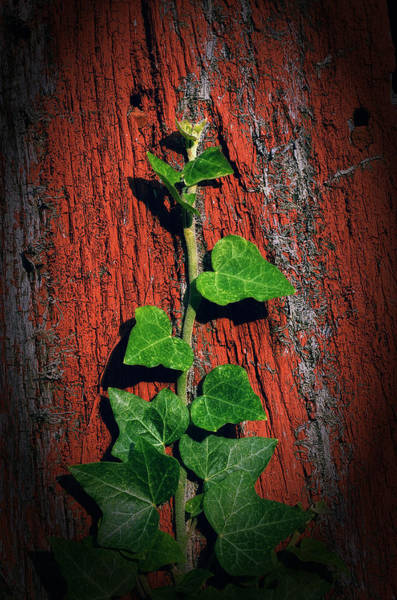 Wall Art - Photograph - Ivy On Red Board by Steve Hurt