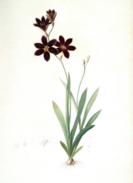Magical Drawing - Ixia Grandiflora, Ixia à Grande Fleur, Redouté by Artokoloro