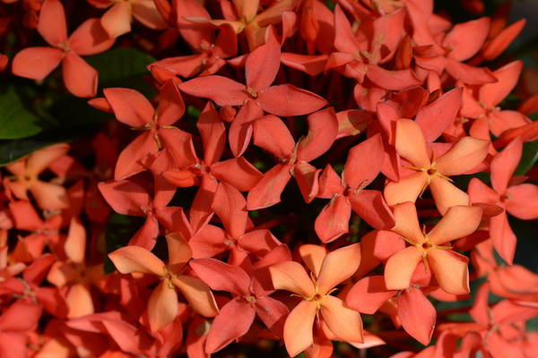 Ixora Red Art Print