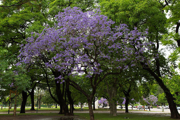 Jacaranda In The Park Art Print