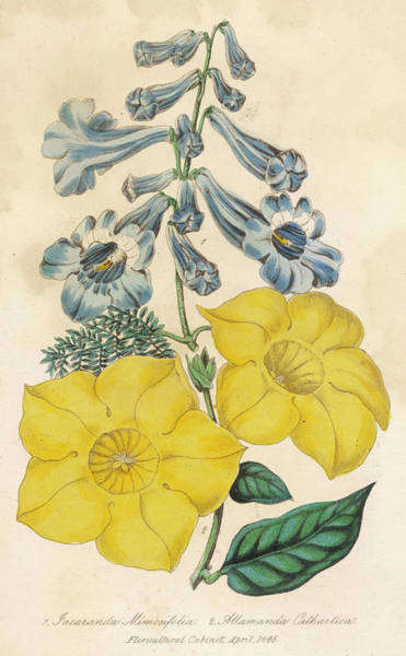 Wall Art - Drawing - Jacaranda Mimosifolia With Allamanda by Mary Evans Picture Library