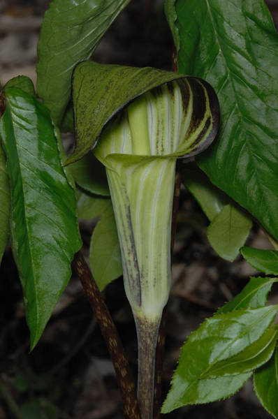 Wall Art - Photograph - Jack-in-the-pulpit by John W. Bova