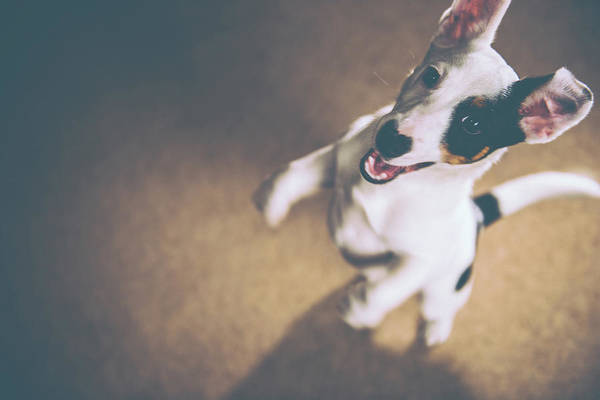 Puppy Photograph - Jack Russell Jumping by James Farley