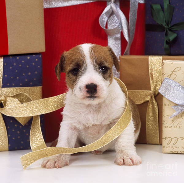 Photograph - Jack Russell Puppy At Christmas by John Daniels
