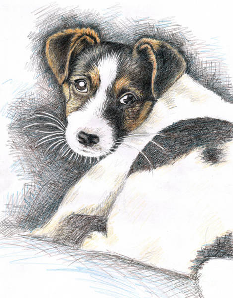 Hund Drawing - Jack Russell Puppy by Nicole Zeug