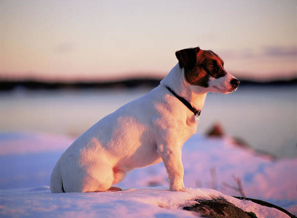 Jack Russell Wall Art - Photograph - Jack Russell Terrier by Bjorn Svensson/science Photo Library