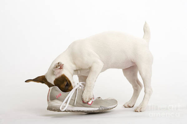 Naughty Dog Wall Art - Photograph - Jack Russell With Sneaker by Jean-Michel Labat