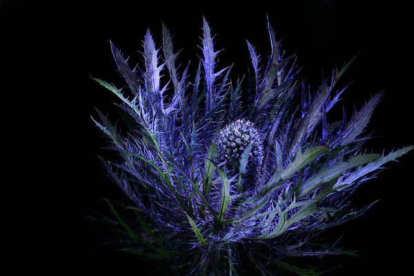 Jackpot Blue Thistle Art Print