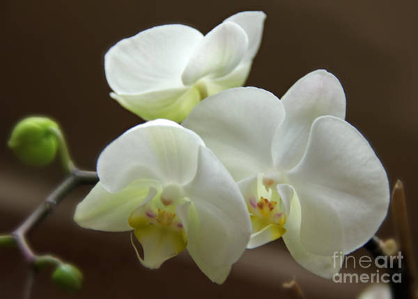 Arapahoe County Wall Art - Photograph - Jack's Orchids by Bob Hislop