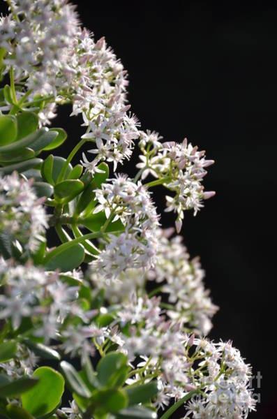 Photograph - Jade Plant Flowers by Randy J Heath