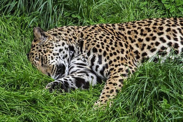 Photograph - Jaguar 1 by Arterra Picture Library