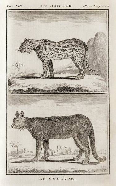Wall Art - Photograph - Jaguar And Cougar, 18th Century by Science Photo Library