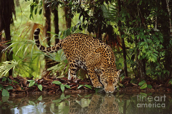 Photograph - Jaguar Drinking by Frans Lanting MINT Images