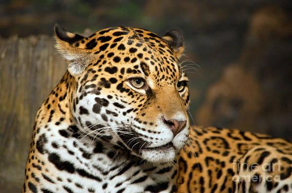 Photograph - Jaguar Mom by Lula Adams