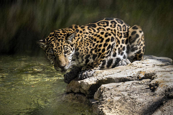 Photograph - Jaguar On Rock by Lynn Palmer