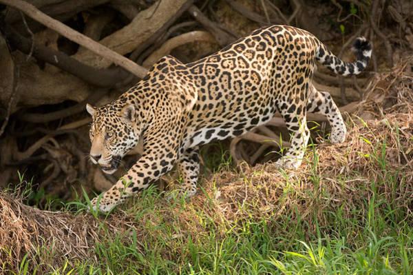 Forage Wall Art - Photograph - Jaguar Panthera Onca Foraging by Panoramic Images