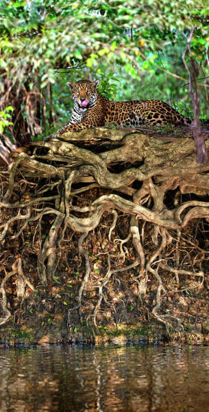Wall Art - Photograph - Jaguar Panthera Onca Resting by Animal Images